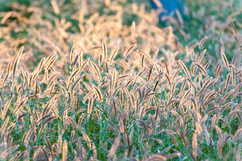 Chiuda su dell'erba di fontana indietro accesa dalla luce solare di pomeriggio immagini stock libere da diritti