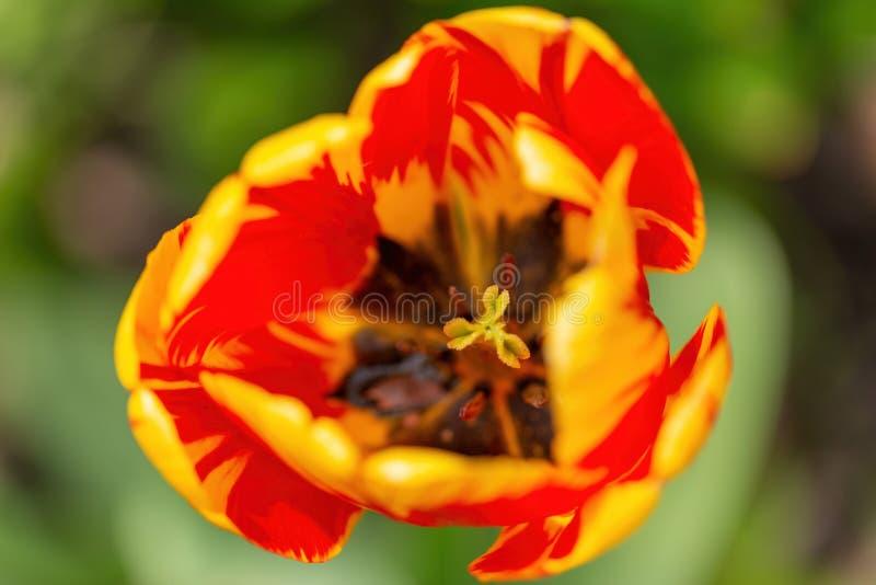 Chiuda su dell'interno del tulipano rosso, macrofotografia immagini stock