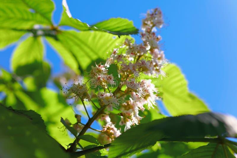Chiuda su dell'le castagne sboccianti Macro colpo dei fiori bianchi di una molla Sally poco profondo di depth-of-field immagini stock libere da diritti