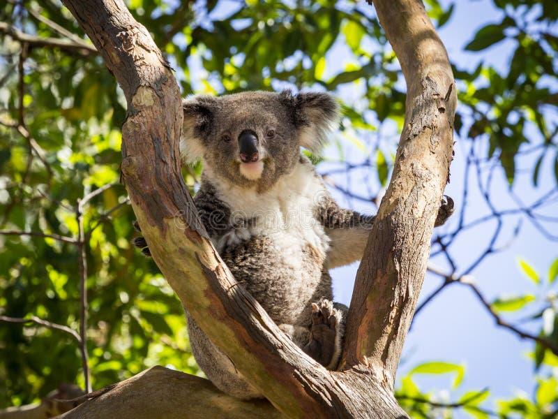 Chiuda su dell'orso di koala in albero immagine stock