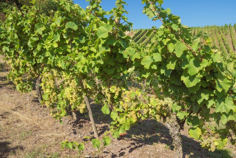Chiuda su dell'uva sulle vigne in Stadtbredimus fotografie stock
