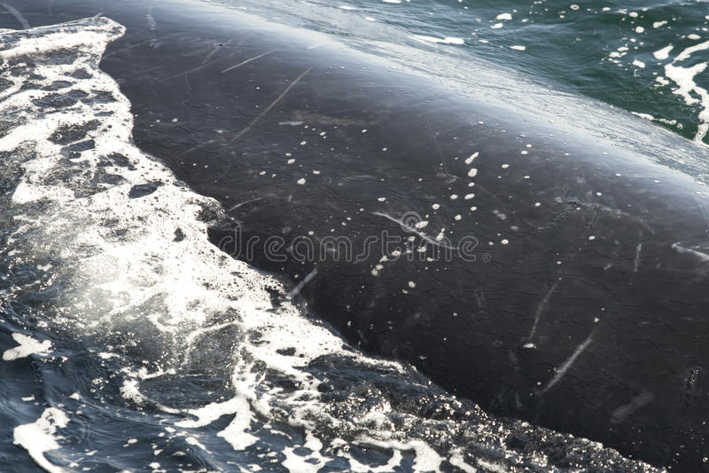 Chiuda in su della balena di humpback fotografia stock libera da diritti