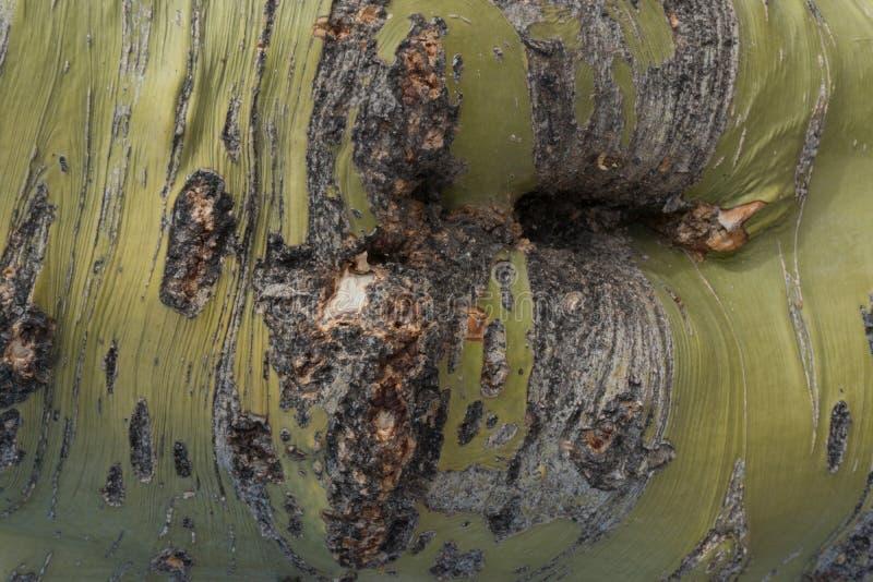 Chiuda su della corteccia di albero di Palo Verde in Arizona immagini stock