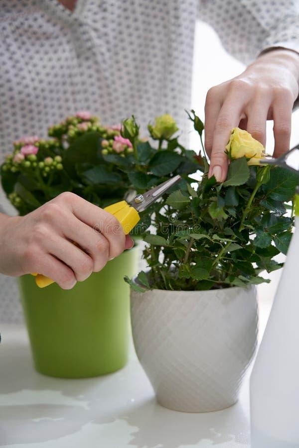 Chiuda su della donna che pota Rose Houseplant With Secateurs immagini stock libere da diritti