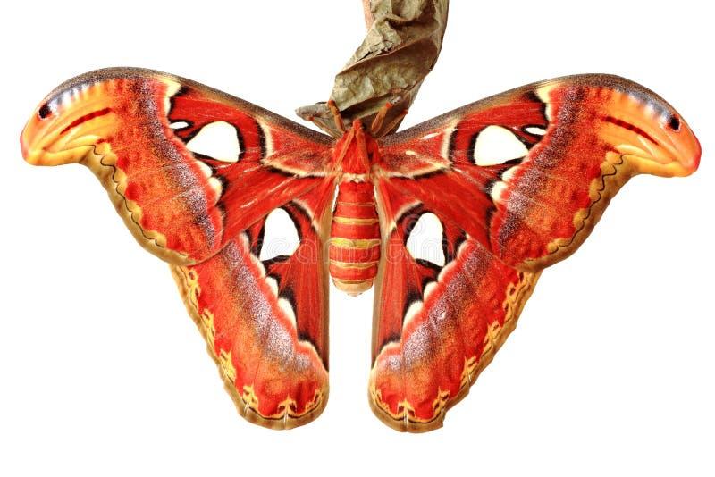 Chiuda in su della farfalla dell'atlante di attacus immagini stock