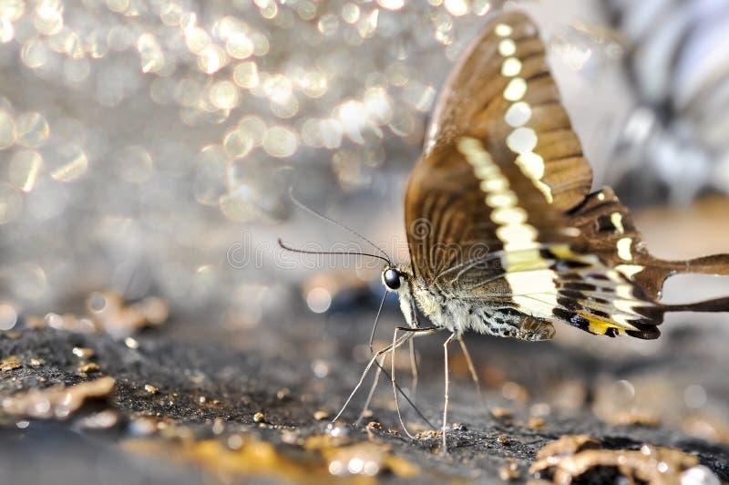Chiuda su della farfalla di coda di rondine Banded che mangia i minerali fotografia stock libera da diritti