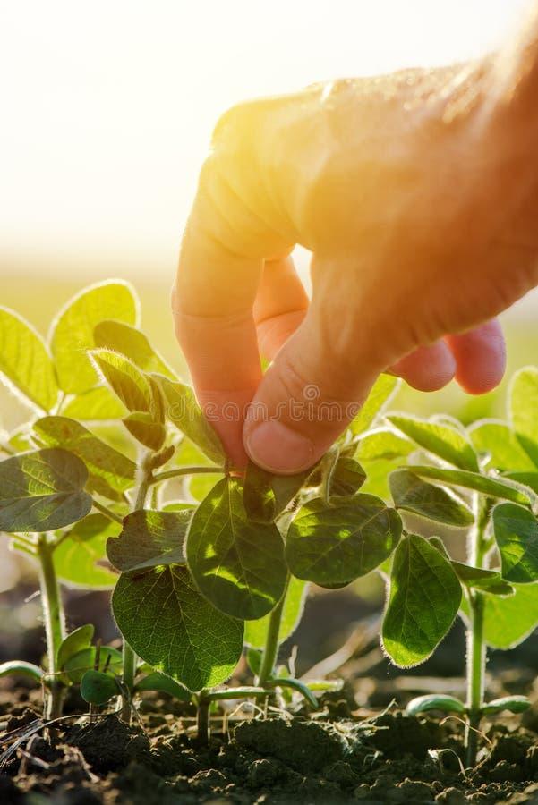 Chiuda su della foglia d'esame della pianta di soia della mano maschio dell'agricoltore immagine stock