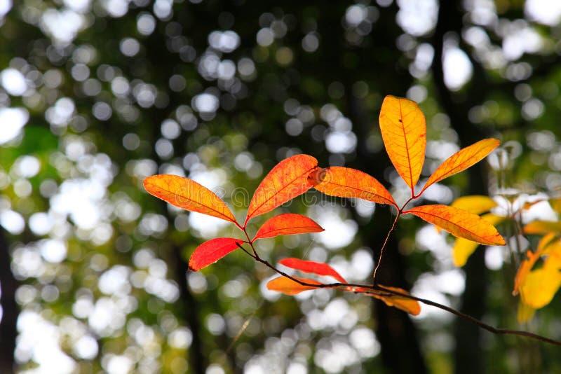 chiuda su della foglia posteriore quel cambiamento del colore durante la stagione di caduta fotografia stock