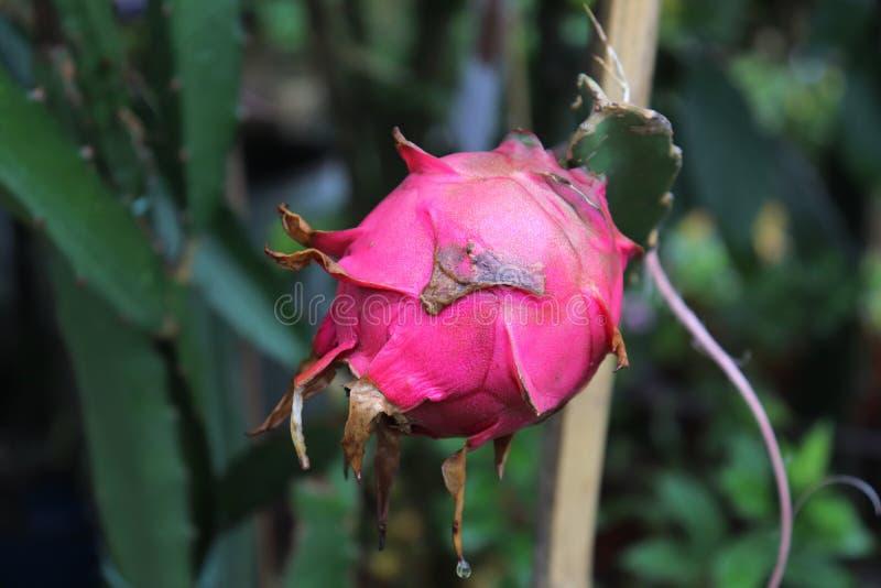 Chiuda su della frutta del drago su una dracena delle Canarie immagine stock libera da diritti
