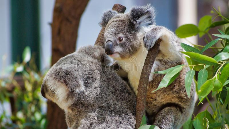 Chiuda su della koala sveglia riguarda un albero fotografia stock