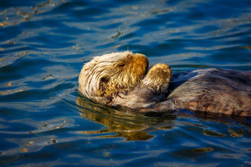 Chiuda su della lontra di mare di sonno fotografia stock