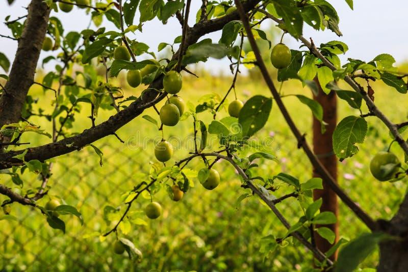 Chiuda su della mirabella verde in wineyard durante l'estate fotografia stock libera da diritti