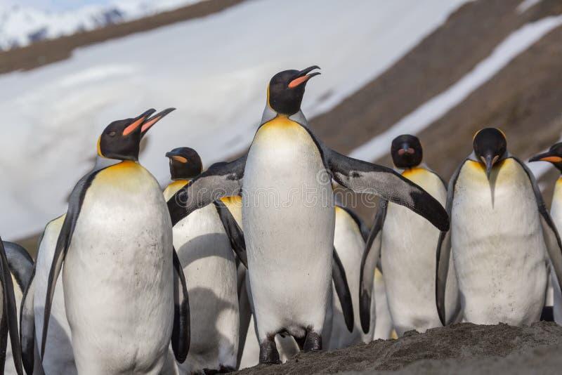 Chiuda su della moltitudine di pinguini di re nella baia di St Andrews fotografia stock