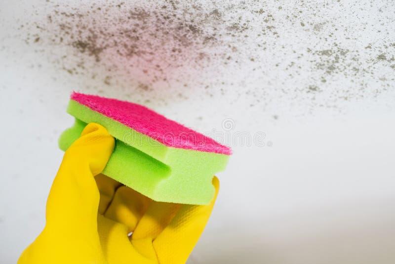 Chiuda su della muffa di pulizia della mano dal soffitto immagini stock