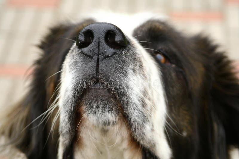 Chiuda in su della museruola del cane immagine stock