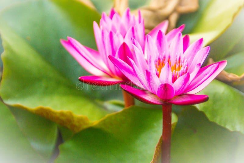 Chiuda su della ninfea rosa con polline ed il fondo gialli delle foglie verdi Bello loto rosa con polline giallo fotografia stock libera da diritti