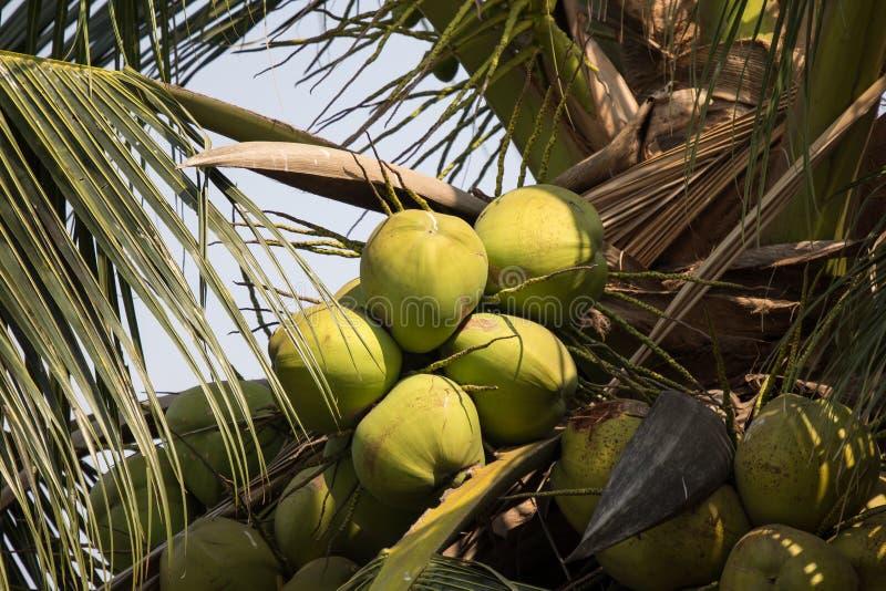 Chiuda su della noce di cocco verde e della foglia verde fotografia stock libera da diritti