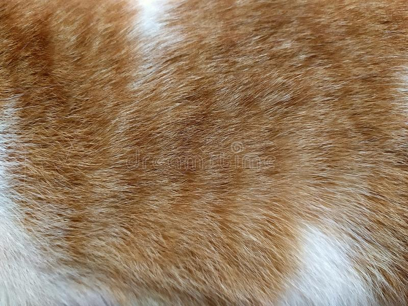 Chiuda su della pelliccia del gatto di soriano dello bianco-zenzero fotografia stock libera da diritti
