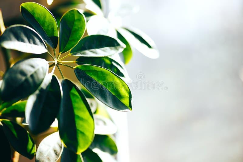 Chiuda su della pianta d'appartamento verde sulla parete bianca Decorazione interna di stile minimo fotografia stock