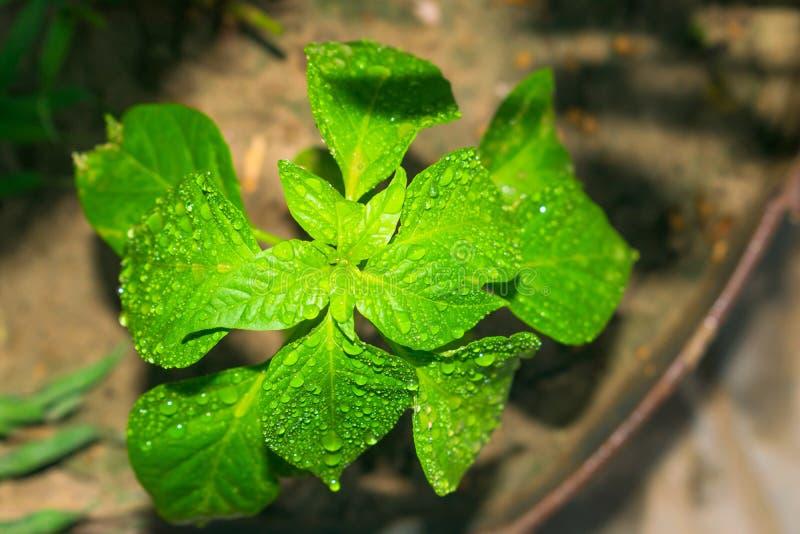 Chiuda su della pianta del peperone verde, gocce di pioggia sulle foglie fotografie stock libere da diritti