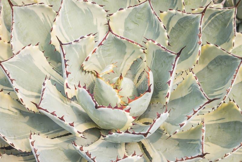 Chiuda su della pianta del succulente dell'agave fotografie stock libere da diritti
