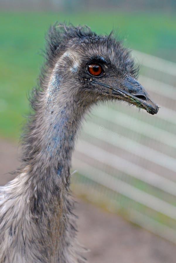 Chiuda su della testa dell'uccello dell'emù di novaehollandiae del Dromaius immagini stock libere da diritti