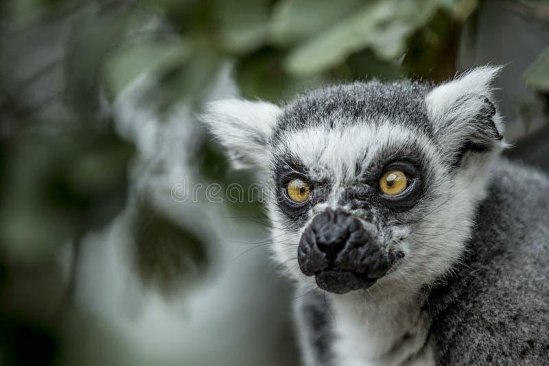 Chiuda su della testa delle lemure con uno sguardo fisso fotografia stock libera da diritti