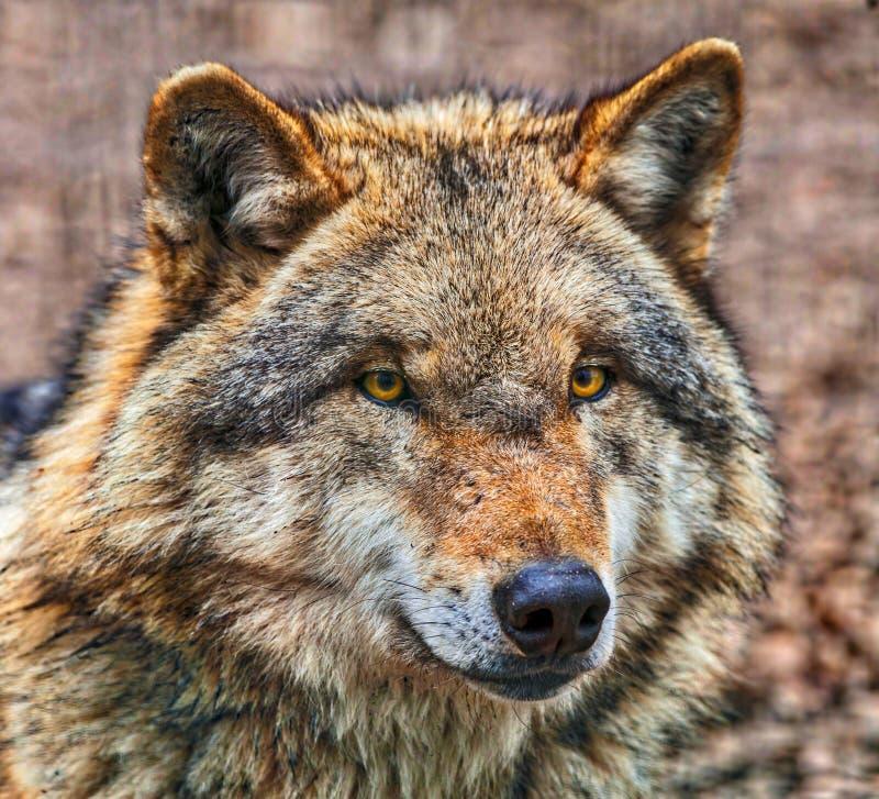 Chiuda su della testa di Grey Wolf pericoloso fotografia stock