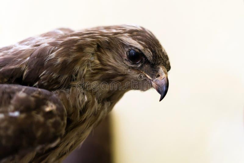 Chiuda su della testa di un uccello del falco con un becco enorme isolato su fondo bianco immagini stock libere da diritti