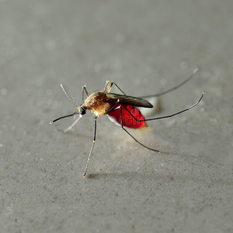 Chiuda su della zanzara in pieno di sangue fotografia stock