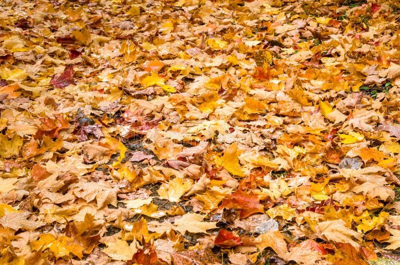 Chiuda su delle foglie cadute fotografie stock