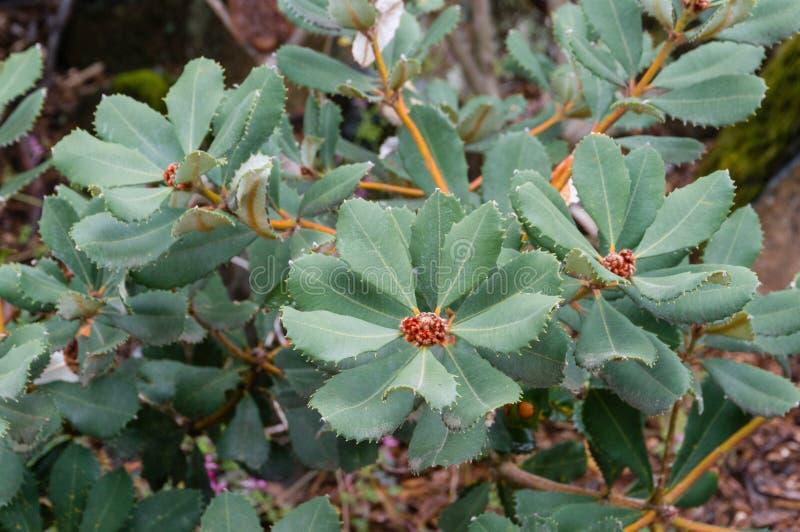 Chiuda su delle foglie del mazzo di banksia su un ramo fotografie stock libere da diritti