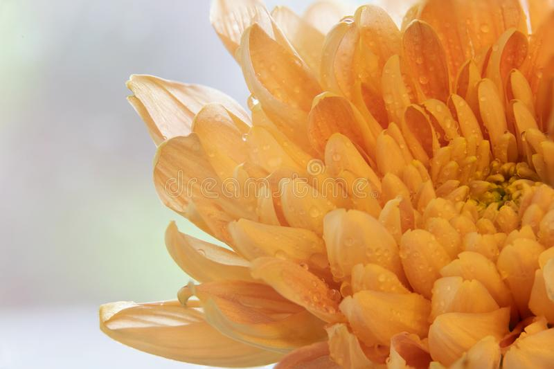 Chiuda su delle gocce di acqua sui bei petali arancio del fiore immagini stock libere da diritti