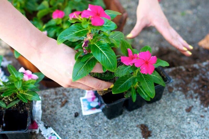 Chiuda su delle mani che afferrano il fiore rosso fotografie stock libere da diritti