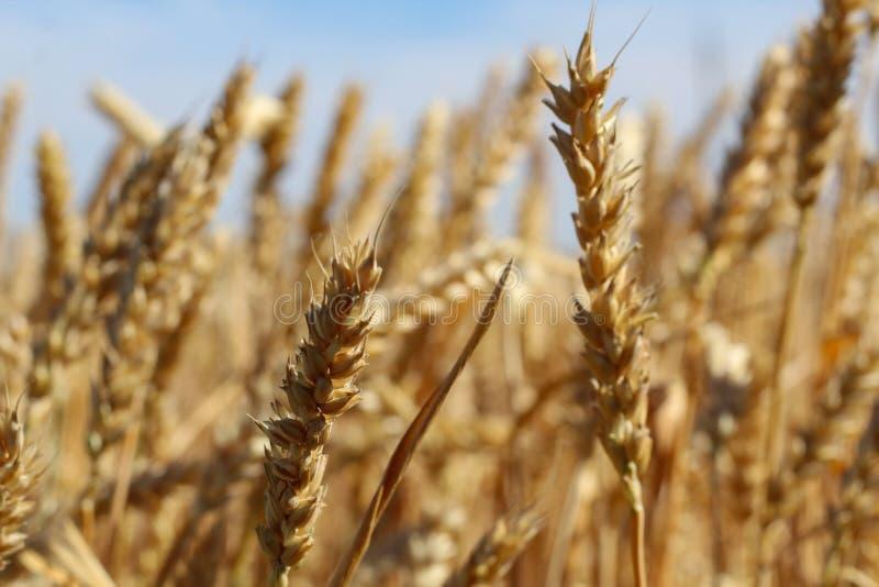 Chiuda su delle orecchie mature del grano contro cielo blu nel giorno di estate immagine stock libera da diritti