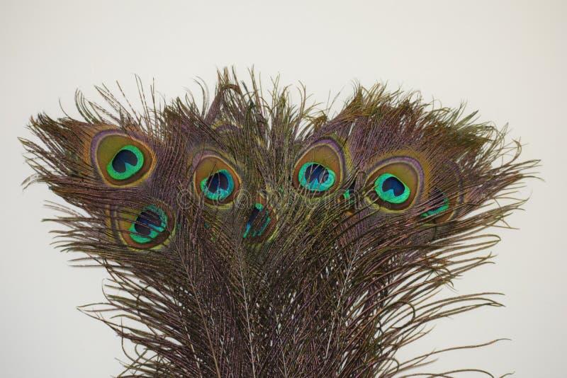 Chiuda su delle piume del pavone con fondo bianco fotografia stock libera da diritti