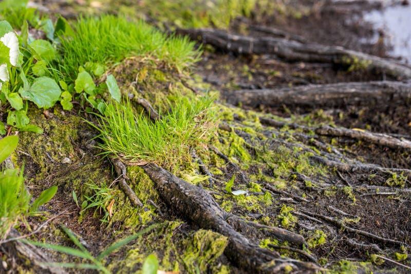 Chiuda su delle radici, del muschio e dell'erba dell'albero su un fiume o su una banca del lago fotografia stock
