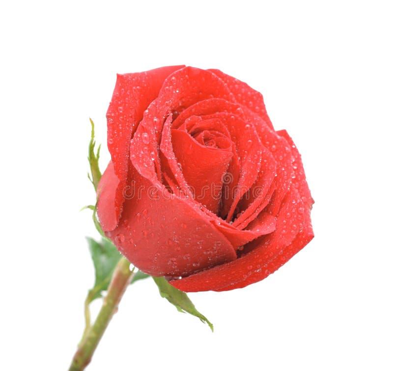 Chiuda in su delle rose con le gocce dell'acqua, isolato immagine stock libera da diritti