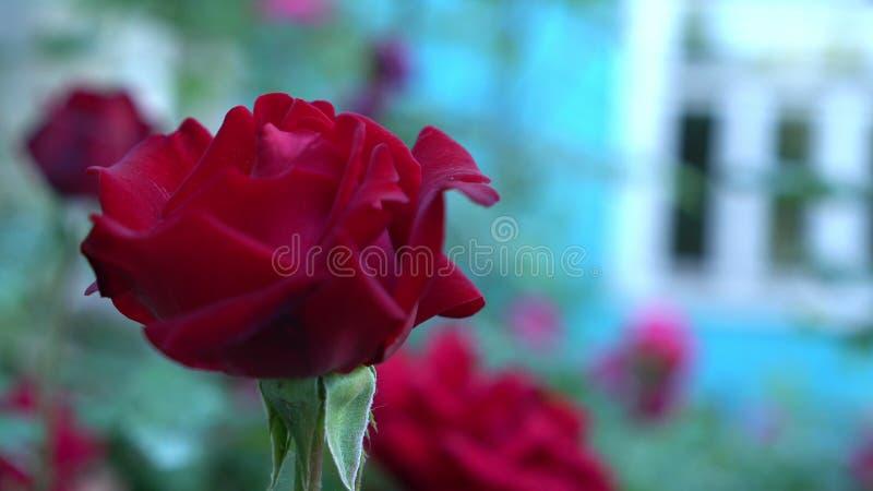 Chiuda su delle rose rosse nel giardino della campagna Fondo confuso verde della natura con il posto per testo summertime fotografia stock