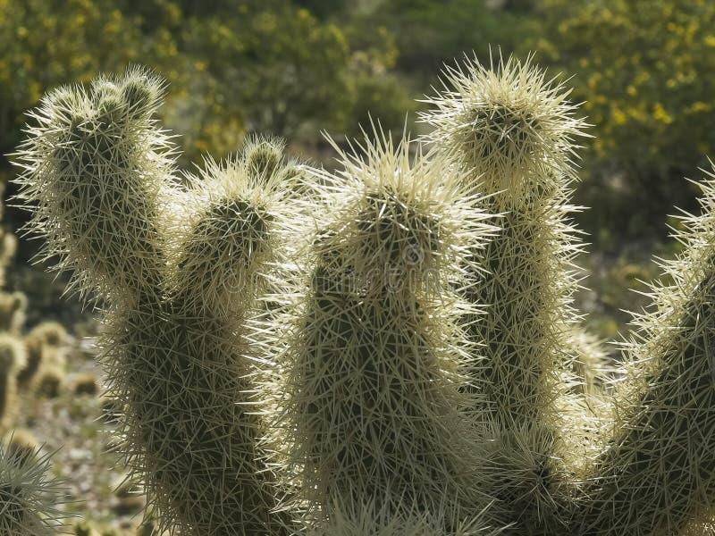 Chiuda su delle spine dorsali su un cactus di salto di cholla in Arizona immagine stock libera da diritti