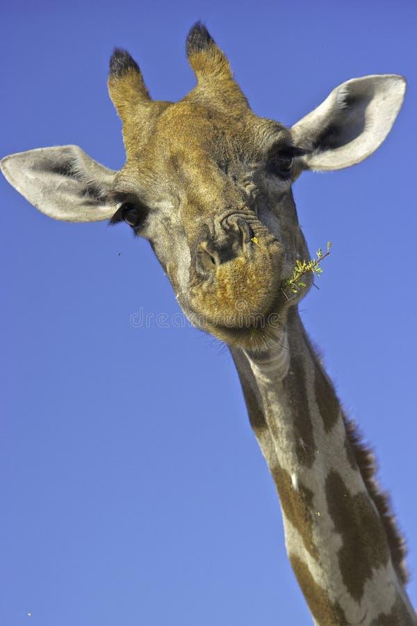 Chiuda su di alimentazione della giraffa immagini stock