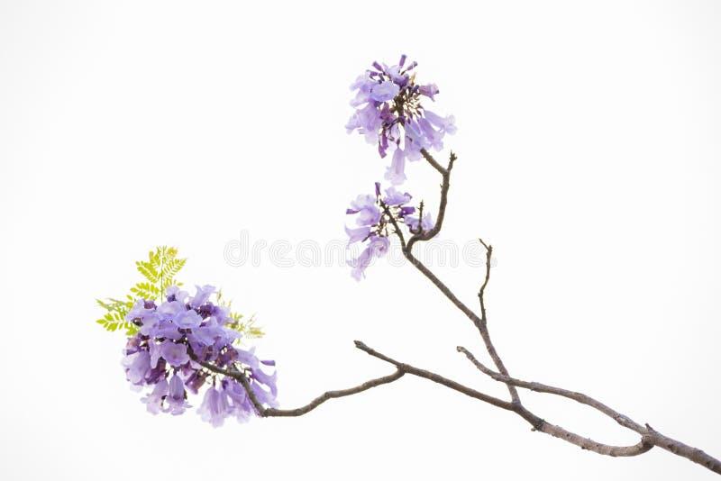 Chiuda su di bei alberi porpora del jacaranda immagine stock libera da diritti
