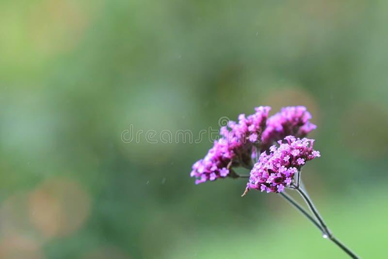 Chiuda su di bei fiori selvaggi sotto una doccia leggera della molla immagine stock