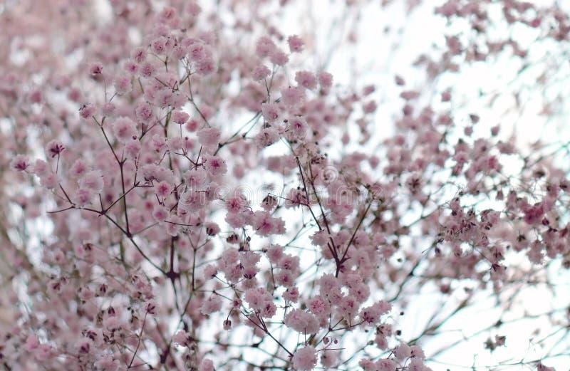 Chiuda su di bei fiori vaghi del Gypsophila o del Bambino-respiro del giardino immagini stock