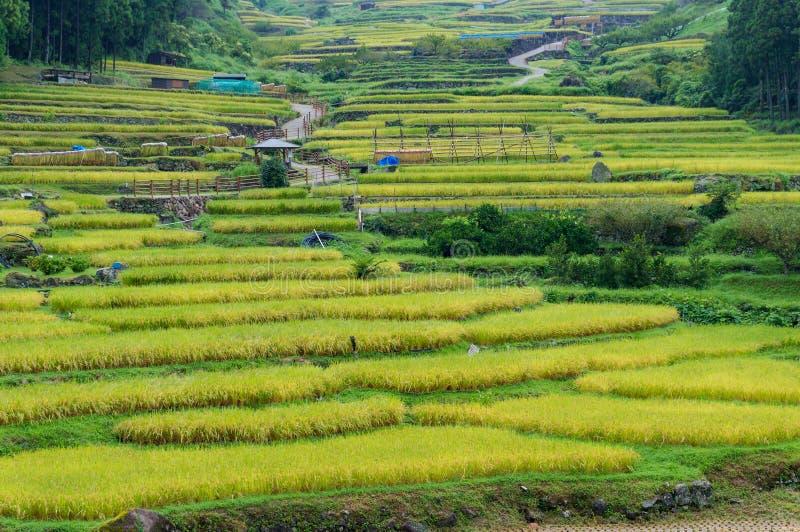 Chiuda su di bei terrazzi del riso con il raccolto maturo del cereale fotografie stock libere da diritti