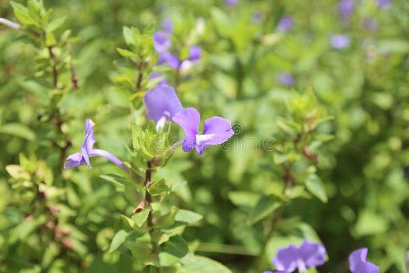 Chiuda su di bella porpora nel verde il giardino immagini stock libere da diritti