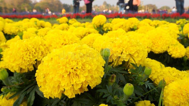 Chiuda su di bello fiore del tagete immagine stock libera da diritti