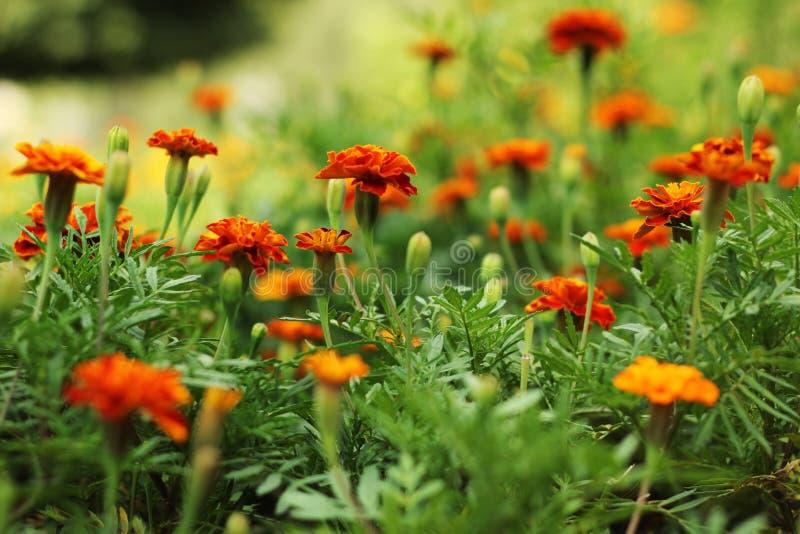 Chiuda su di bello fiore del tagete nel giardino Macro del tagete nel giorno soleggiato del letto di fiore immagini stock libere da diritti