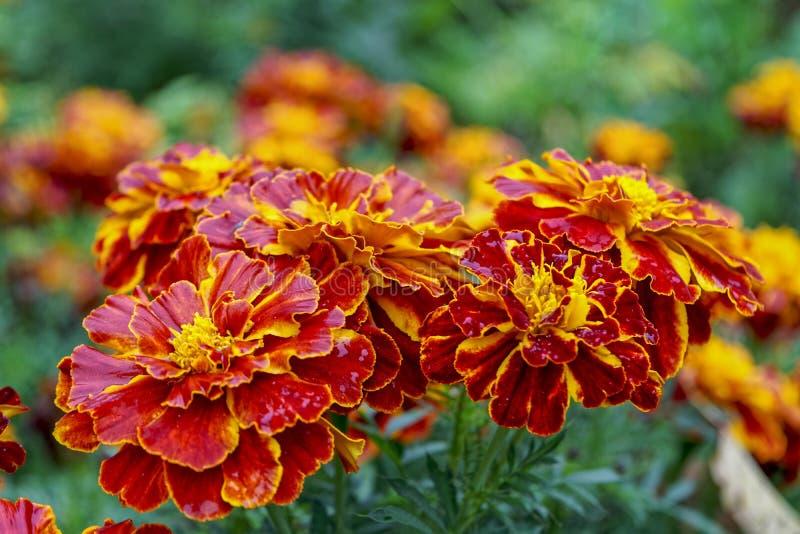 Chiuda su di bello fiore giallo arancio del tagete Macro del tagete nel giorno soleggiato del letto di fiore fotografie stock libere da diritti
