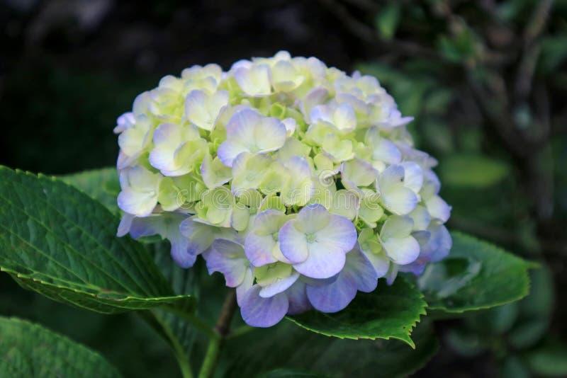 Chiuda su di bello fiore porpora e giallo pallido di fioritura dell'ortensia fotografia stock